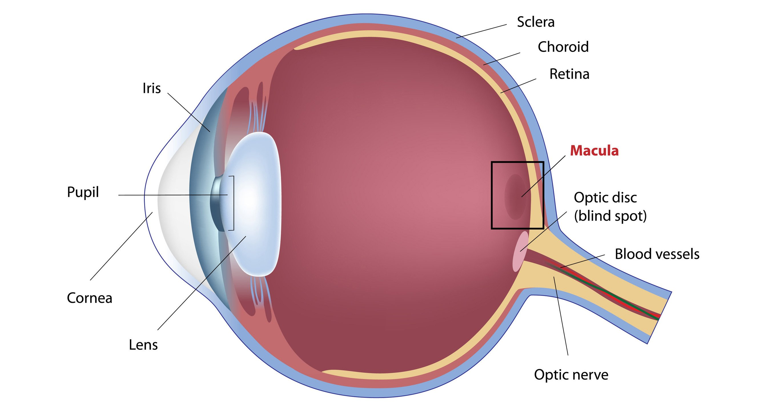 What is Macula ?